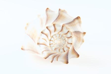 nekton: LIghtning Whelk Shell Isolated on White