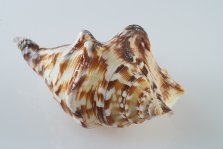 Fancy Sea Shell Isolated on White photo