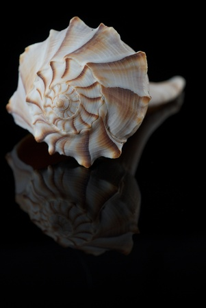 Lightning Whelk Shell Isolated on Black