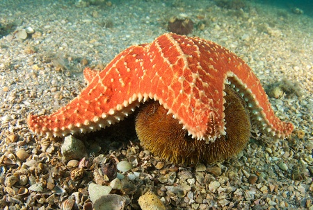 Cushion Sea Star getting ready to try and consume a Sea Urchin picture taken under the Blue Heron Bridge in Palm Beach Florida. Stock Photo