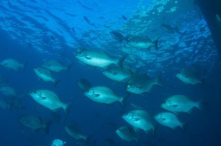 reeffish: Schooling Bermuda Chub picture taken under the Blue Heron Bridge, West Palm Beach Florida.