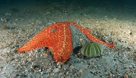 cushion sea star: Cushion Sea Star next to a Sea Urchin Teste(skeleton) picture taken under the Blue Heron Bridge in Palm Beach Florida.