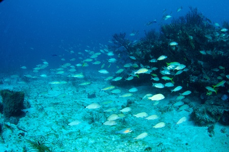 reeffish: Schooling Striped Grunts on a reef in south east Florida. Stock Photo