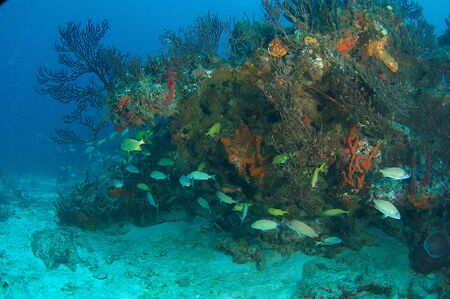 nekton: Reef Composition with fish aggregation picture taken in south east Florida.