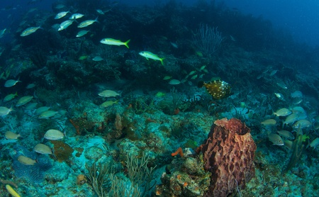 nekton: Abbey Too Reef in south east Florida.  White Spotted Filefish center right frame.
