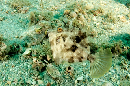 reeffish: Planehead Filefish