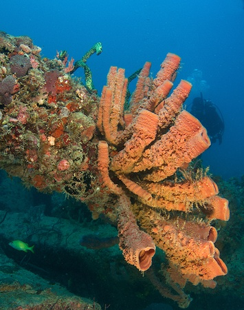 Large vase sponges growing on a cement beam part of a artificial reef with scuba diver in background, south east Florida.