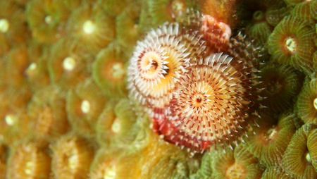 Christmas Tree Worm on a reef in south east Florida. Stock Photo