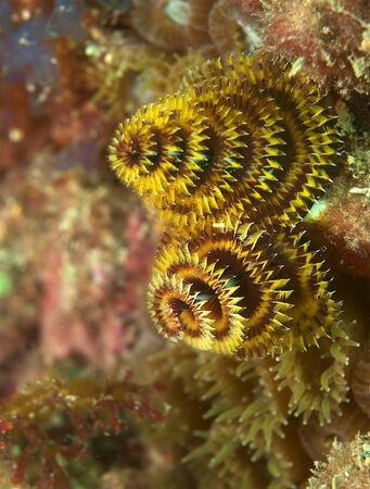 Christmas Tree Worm on a reef in south east Florida. photo