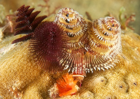 nekton: Christmas Tree Worms on a reef in south east Florida.