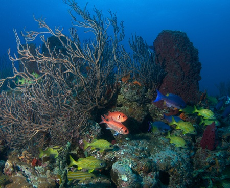 soldier fish: Reef Composition with Blackbar Soldier Fish, French Grunts, and Creole Wrasse.
