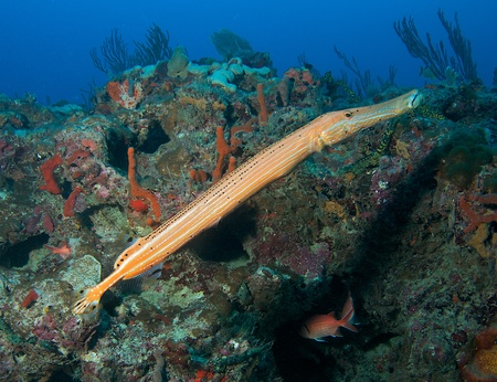 nekton: Large Trumpetfish on a reef in south east FLorida.