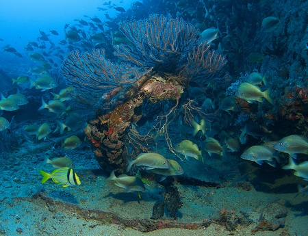 White Grunts around a deepwater sea fan on an artificial reef in south east Florida. Stock Photo - 12823674