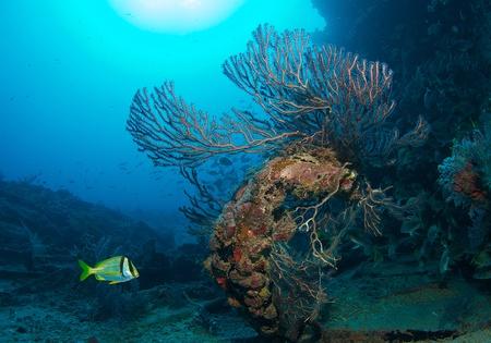 nekton: Deepwater Sea Fan growing on a an artificial reef. Stock Photo