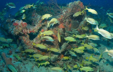 Grunt aggregation on an artificial reef in south east Florida. photo