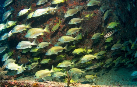 nekton: Schooling White Grunts on an artificial reef in south east Florida.