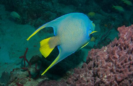 Blue Angelfish on a reef in south east Florida. 免版税图像