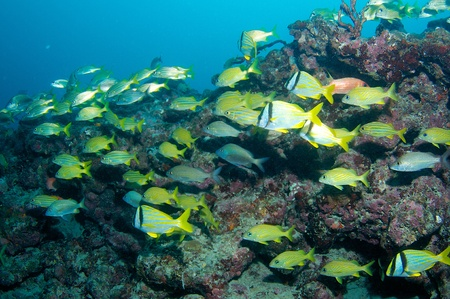 nekton: Porkfish and French Grunts on a reef ledge in south east Florida. Stock Photo