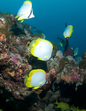 nekton: Spotfin Butterflyfish on a reef ledge in south east Florida.