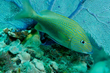 White Grunt in front of a Sea Fan, picture taken in south east Florida.  Stock Photo - 12823780