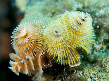 reeffish: Two Christmas Tree Worms, picture taken in south east Florida.