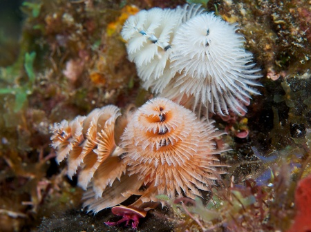 Group of Christmas Tree Worms, picture taken in south east Florida.