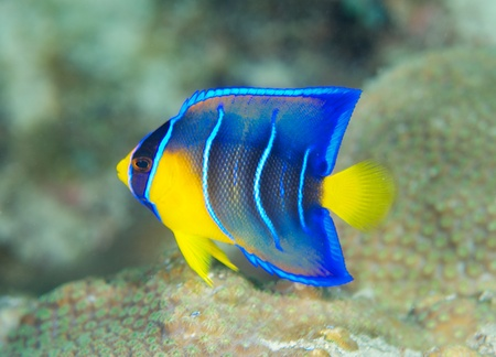 Juvenile Queen Angelfish, picture taken in south east Florida.    Stock Photo