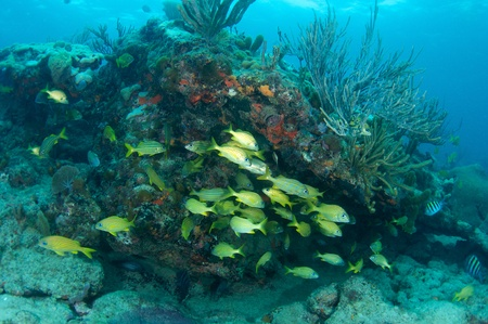 nekton: Schooling French Grunst under a reef ledge, picture taken in south east Florida