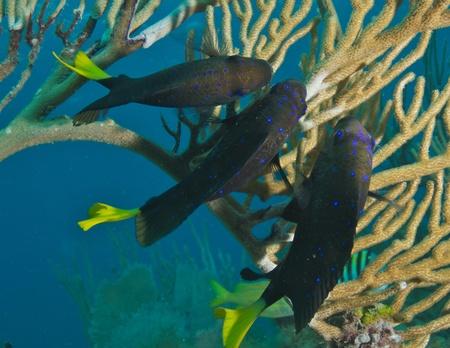 nekton: Yellowtail Damselfish on a reef, picture taken in south east Florida     Stock Photo