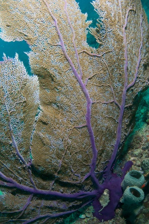 gills: Close up Sea Fan, picture taken in south east Florida