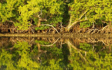 Mangrove tree reflections on the water. Stock fotó