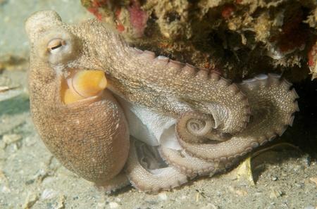 nekton: Common Octupus, picture taken in Palm Beach County, Florida.