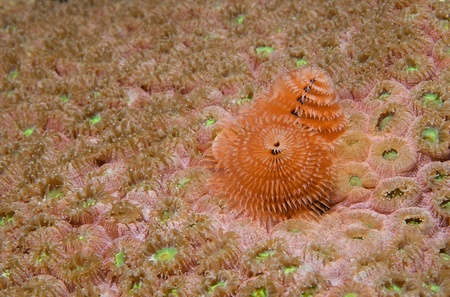Christmas Tree Worm, picture taken in south east Florida. photo