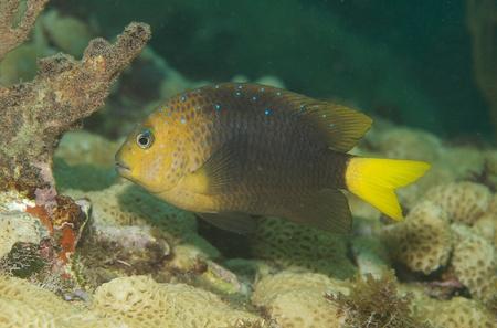 damselfish: Yellowtail Damselfish, picture taken in south east Florida. Stock Photo