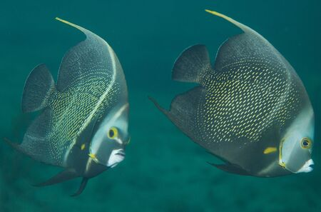 French Angelfish, picture taken in south east Florida. Stock Photo - 12823588
