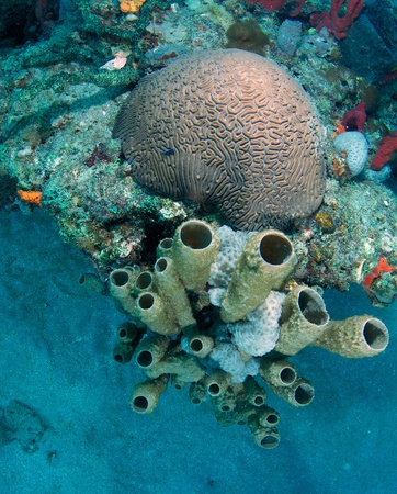 Large Brain Coral next to organ pipe sponges on a reef.