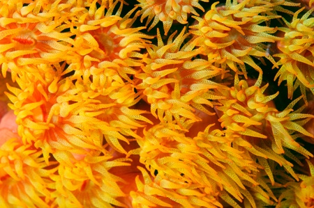 Orange Cup Coral swaying in a strong current.