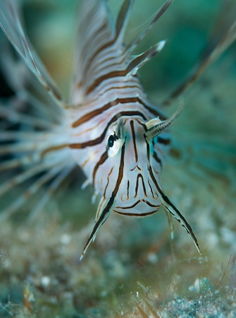 Macro of a Juvenile Lionfish on a reef.