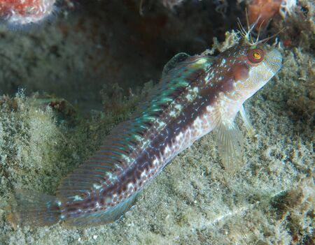 blenny: A Seaweed Blenny perched on its pectoral fins. Stock Photo