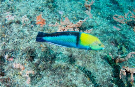 Male Yellowheaad Wrasse swimming near a reef.
