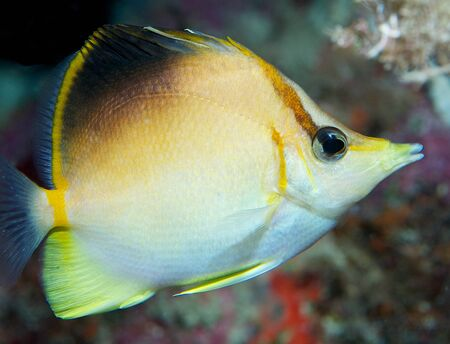 Macro of a Longsnout Butterflyfish under a reef ledge.