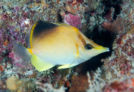 reef fish: Macro of a Longsnout Butterflyfish under a reef ledge.