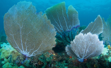 Smaller sea fans growing close together on an artificial reef.