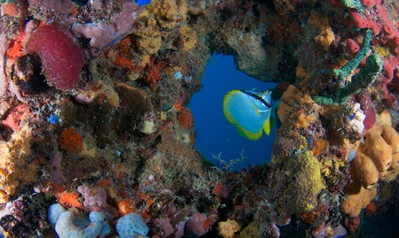 Spotfin Butterflyfish swims through a donut hole formed by coral