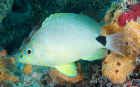 Butter Hamlet hovering over a reef of orange and green sponge. Stock Photo - 14961353