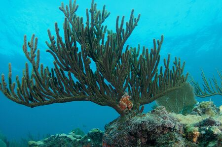 A large healthy Sea Rod anchored a top a coral ledge