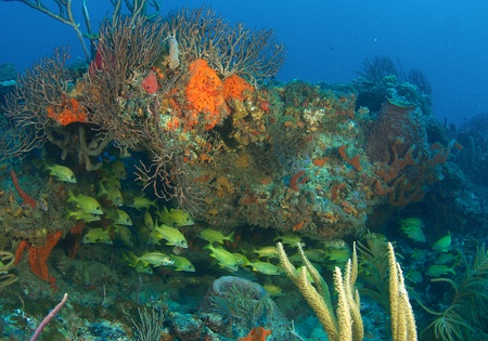 nekton: French Grunts under a reef ledge in south east Florida.