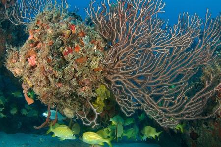 nekton: French Grunts under a deepwater sea fan on an artificial reef.