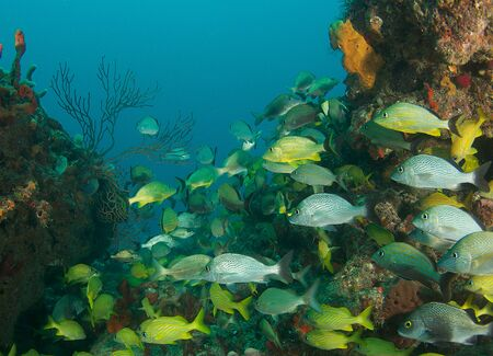 reef fish: Many different grunts swimming through a crevice in the reef. Stock Photo