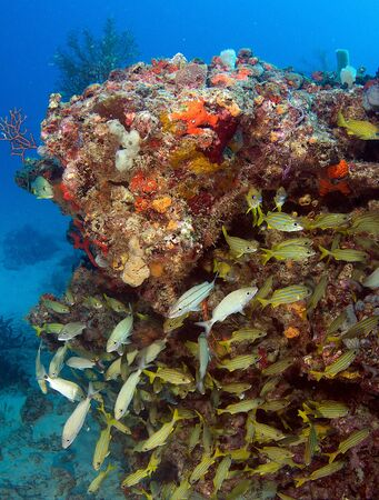 An aggregation of Grunts under a reef ledge. Stock Photo